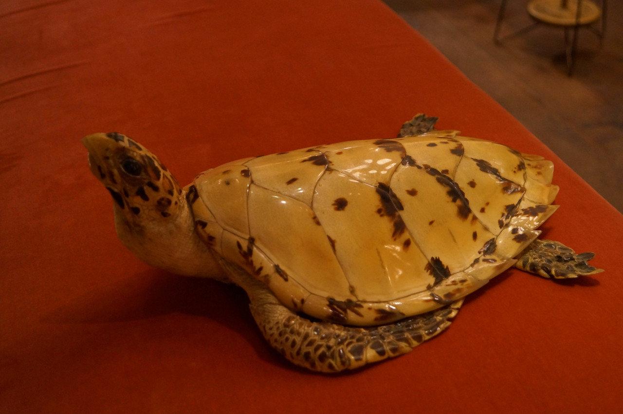 素材となるウミガメの一種・タイマイ。
